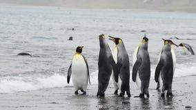 Paseo de rey Penguins en la playa almacen de video