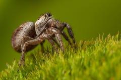 Paseo de salto de la araña en fondo verde imagenes de archivo