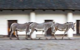 Paseo de tres cebras en una pajarera del parque zoológico Fotos de archivo