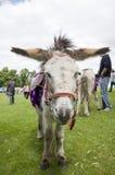 Paseo del burro Fotografía de archivo libre de regalías