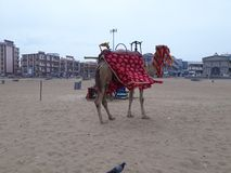 Paseo del camello cerca de la playa fotos de archivo