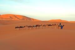 Paseo del camello del desierto Foto de archivo
