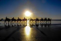 Paseo del camello en la puesta del sol Fotos de archivo