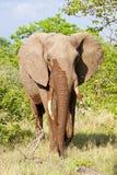 Paseo del elefante en el arbusto Imagenes de archivo