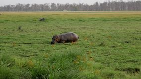 Paseo del hipopótamo en rodilla cenagosa del área del prado profundamente en fango en reserva africana almacen de video