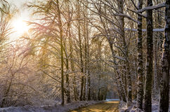 Paseo del invierno a través del bosque hermoso del abedul Imagen de archivo libre de regalías