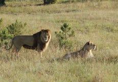 Paseo del león y de la leona Fotografía de archivo libre de regalías
