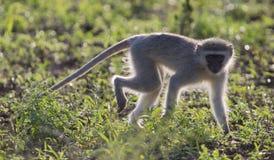 Paseo del mono de Vervet retroiluminado en el sol de la madrugada Imágenes de archivo libres de regalías