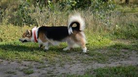 Paseo del perro del Corgi Galés en el parque de naturaleza almacen de metraje de vídeo