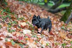 Paseo del perro de Terrier de mojón en la hierba hojas de otoño en fondo Retrato imagen de archivo libre de regalías