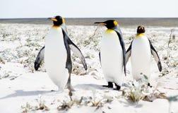 Paseo del pingüino fotografía de archivo libre de regalías