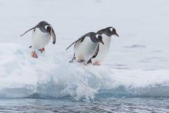Paseo del pingüino de Gentoo en la nieve Imagenes de archivo