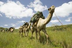 Paseo del safari del camello a través de los prados verdes de la conservación de la fauna de Lewa, Kenia del norte, África Imágenes de archivo libres de regalías