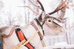 Paseo del trineo del reno en Laponia Imagen de archivo libre de regalías