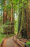 Paseo en el bosque Muir Woods National Monument Foto de archivo libre de regalías
