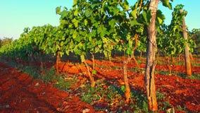 Paseo en el campo de la uva metrajes