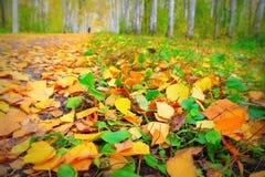 Paseo en la arboleda del abedul del otoño Foto de archivo