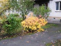 paseo en la calle de la ciudad del arbusto amarillo hermoso de la opinión del día del otoño de Kiev que crece cerca de la casa fotografía de archivo libre de regalías