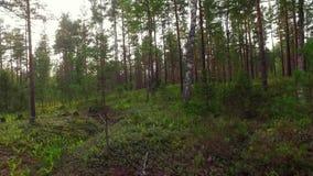 Paseo en la cantidad del movimiento del forestSlow del verano tiro del steadicam Visión animal metrajes
