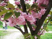 paseo en una tarde de la primavera a lo largo de los callejones del parque de la ciudad debajo de los cerezos florecientes imágenes de archivo libres de regalías
