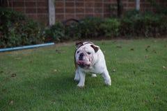 Paseo inglés del dogo en el parque y el tounge de la demostración Imagen de archivo libre de regalías