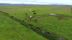 Paseo islandés de los caballos a través de los campos Andreev almacen de video