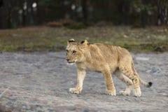Paseo joven de la leona cerca del bosque - Panhera leo Fotografía de archivo libre de regalías