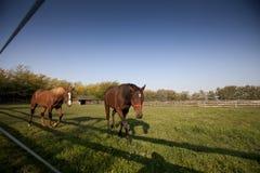 Paseo marrón de dos caballos en un prado Fotos de archivo