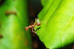 Paseo rojo en una hoja verde, naturaleza macra de la hormiga Foto de archivo