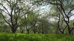 Paseo a través del manzanar floreciente almacen de video