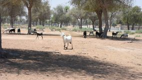 Paseo y funcionamiento blancos del hircus del aegagrus del Capra de la cabra nacional a trav?s de la arena y de la grava caliente almacen de video