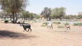 Paseo y funcionamiento del hircus del aegagrus del Capra de las cabras nacionales a trav?s de la arena y de la grava calientes de almacen de metraje de vídeo