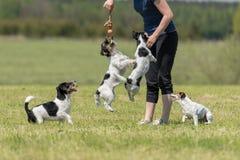 Paseo y juego del dueño con muchos perros en un prado imagenes de archivo