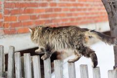 paseos de gato grises peludos grandes en la cerca imagenes de archivo