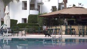 Paseos de gato negro a lo largo de la piscina más allá del área de la barra en la cámara lenta metrajes