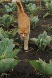 Paseos de gato rojos a través del jardín Foto de archivo libre de regalías
