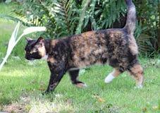 Paseos de un gato de calicó en la hierba en un día de veranos caliente imagenes de archivo
