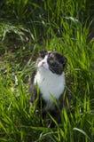 Paseos de un gato escoceses del doblez en un campo Imagen de archivo