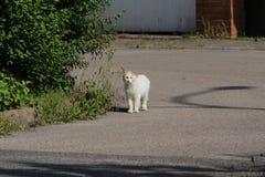 Paseos del blanco de un gato del angora al aire libre fotografía de archivo