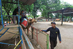 Paseos del camello Fotografía de archivo libre de regalías