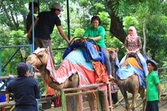 Paseos del camello Foto de archivo