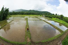 paseos perfectos en campo de arroz grande Imagenes de archivo