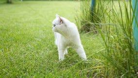 Paseos recto-legged escoceses del gato nacional de la chinchilla al aire libre almacen de metraje de vídeo
