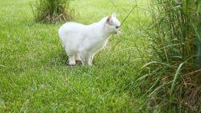 Paseos recto-legged escoceses del gato nacional de la chinchilla al aire libre almacen de video