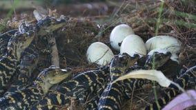 Pasgeboren alligator dichtbij het eierleggen in het nest stock videobeelden