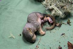 Pasgeboren babyeekhoorns Stock Fotografie