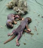 Pasgeboren babyeekhoorns Stock Foto's