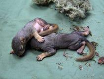 Pasgeboren babyeekhoorns Royalty-vrije Stock Afbeelding