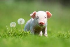 Pasgeboren biggetje op de lente groen gras stock fotografie