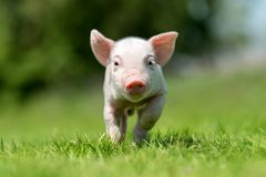 Pasgeboren biggetje op de lente groen gras royalty-vrije stock foto's